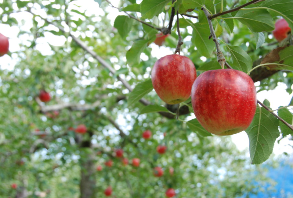 徳佐りんご狩りの写真